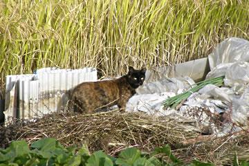 田んぼの猫