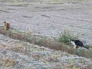 白い田んぼの猫