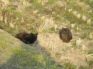 田んぼの猫達